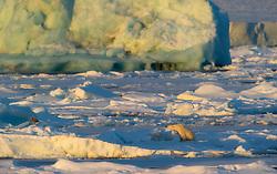 Polar bear (Ursus maritimus)  near Nordaustlandet, Svalbard