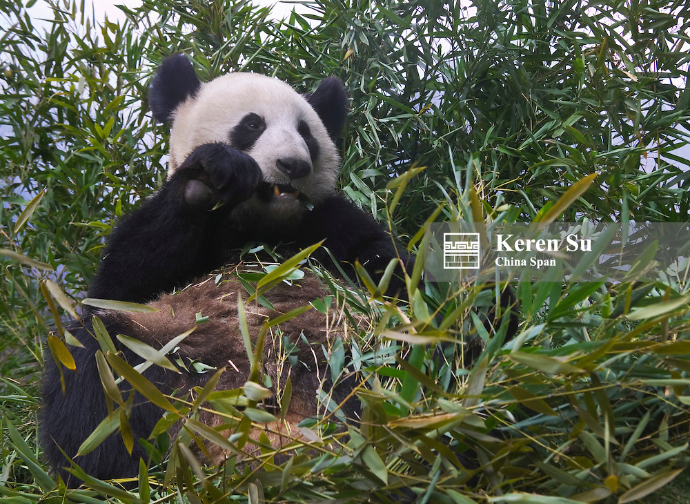 Panda eating bamboo, Wolong Panda Reserve, Sichuan, China