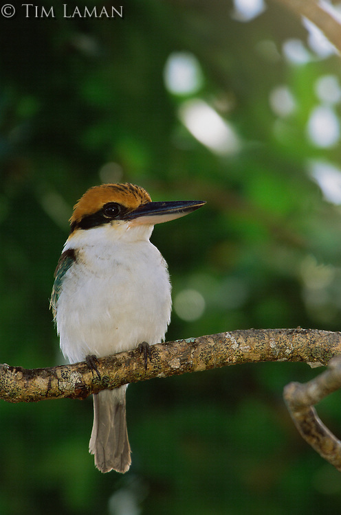 Micronesian kingfisher (Todiramphus cinnamominus pelewensis) formally known as Halcyon cinnamomina) is endemic to Micronesia.  .Koror, Republic of Palau.  Dec 01.