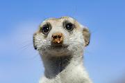 Durch die so menschlich wirkende, aufrechte Körperhaltung und die unserer eigenen Ohrmuschel so ähnlichen Ohren  haben die Erdmännchen (Suricata suricatta) einen hohen Sympathie-Faktor und verleiten oft zum Schmunzeln.  |  Suricate or Slender-tailed Meerkat (Suricata suricatta)