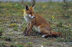 Fox, vos