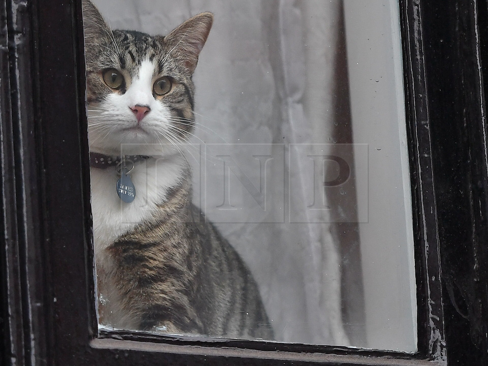 """© Licensed to London News Pictures. 14/11/2016. London, UK. A cat belonging to Julian Assange, wearing a label with """"james"""" written on it, sits in the window of the embassy after Swedish officials arrive at the Ecuadorian Embassy in London where they are expected to interview WikiLeaks editor-in-chief, Julian Assange. Assange, who has been living at the embassy for over four years, is wanted for questioning over accusations of rape in Stockholm in 2010.  Photo credit: Ben Cawthra/LNP"""