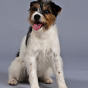 Happy, rough-coated Jack Russell Terrier sitting with tongue out.