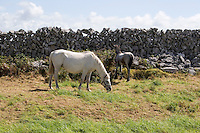 Horses grazing in a field on Inis Oirr Island the Aran Islands County Galway Ireland