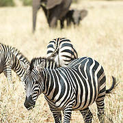 A herd of zebras graze in the foreground, with an adult and young elephant in the background at Tarangire National Park in northern Tanzania not far from Ngorongoro Crater and the Serengeti.