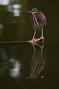 Green Heron, Florida, North America