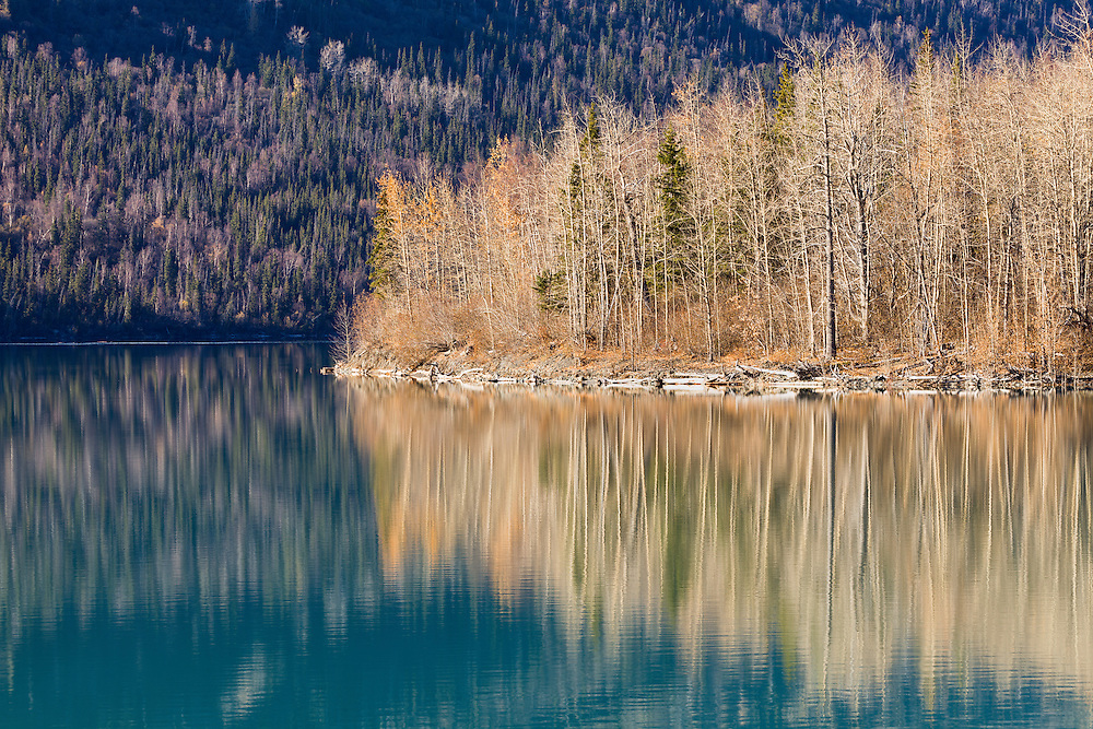 Reflection of mostly bare hardwood trees, spruce, and remaining fall colors on Eklutna Lake in Southcentral Alaska in late autumn. Afternoon.