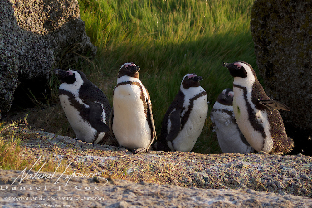 African Penguin, Boulders Penguin Colony in Simons Town