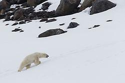 A male polar bear (Ursus maritimus) labors to climb a hill in deep snow while following a female, Svalbard, Norway, Arctic