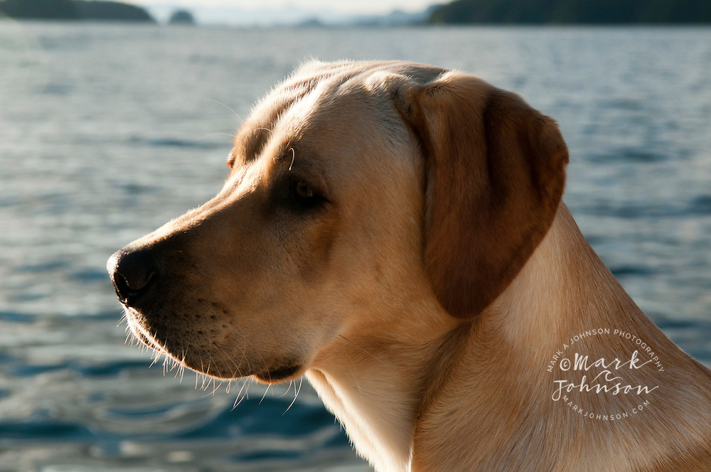 Portrait of Yellow Labrodor dog, Sitka, Alaska