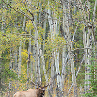 mature bull elk bugling in fall grass aspen trees