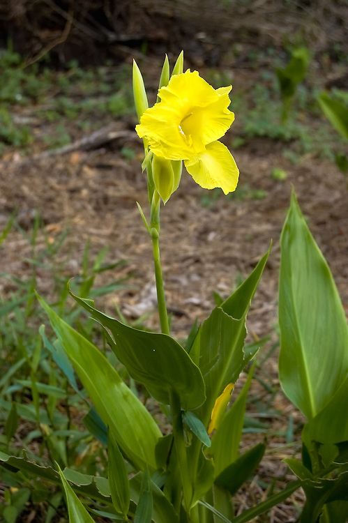 This large beautiful canna was found unexpectedly growing in the Corkscrew Swamp. It is native to Florida and often found in the Everglades.