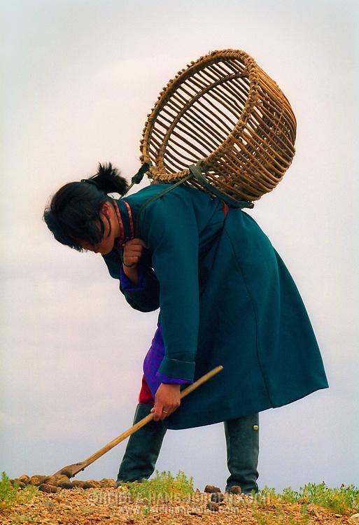 Mongolei, MNG, 2003: Kamel (Camelus bactrianus). Haschtschuluun, die Tochter der Familie, sammelt trockenen Kameldung in einem auf traditioneller Art geflochtenen Holzkorb, Süd-Gobi. Kameldung wird zum Heizen und zum Kochen verwendet. | Mongolia, MNG, 2003: Camel, Camelus bactrianus, Haschtschuluun, daughter of the family, collecting  dry camel dung in a traditional weaved wooden basket, camel dung is used for heating and cooking, South Gobi. |