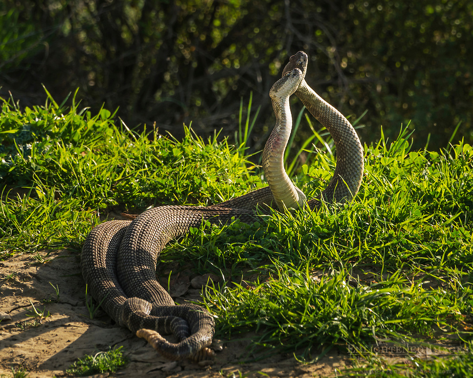 Pair of male Northern Pacific (Western) rattlesnakes (Crotalus oreganus oreganus) wrestling in a mating combat dance in Briones Regional Park, Contra Costa County, California