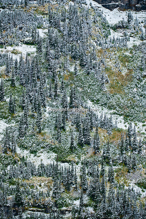 spruce and fir trees mixed with fall foliage logan pass glacier national park