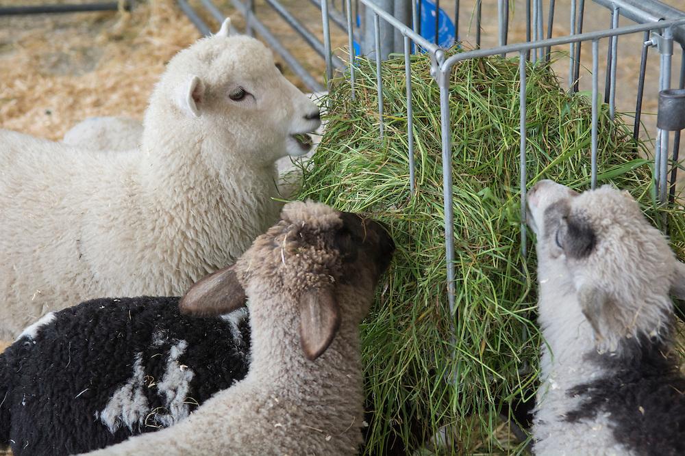 Lambs at the Canterbury A&P Show, Christchurch, New Zealand, November 11, 2015. Credit: SNPA /  David Alexander.