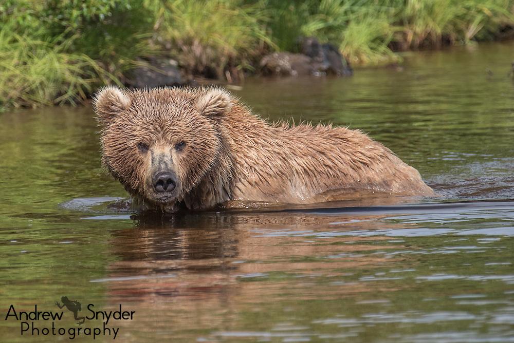 A brown bear (Ursus arctos) in the river - Katmai, Alaska