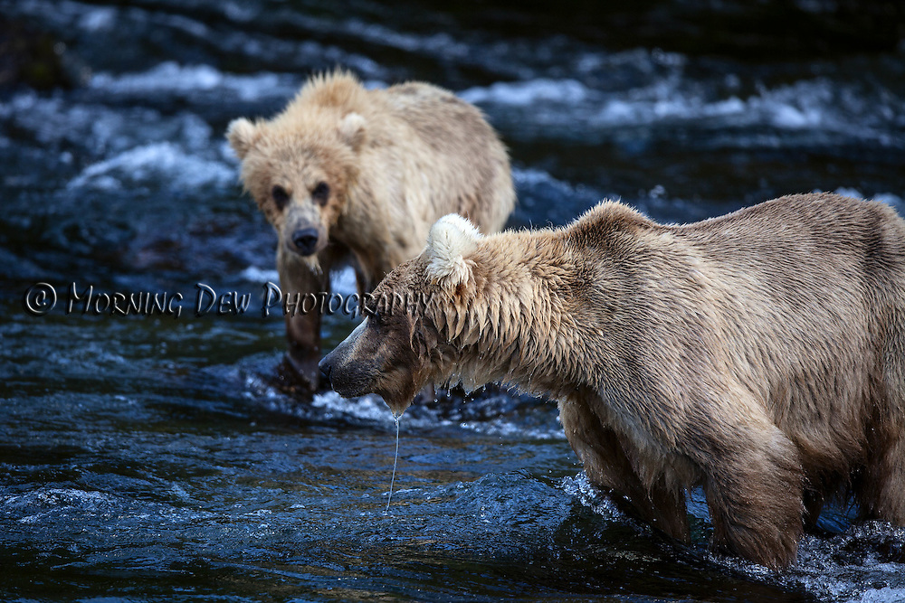 A young brown bear watches as its mother, Holly, fishes for salmon in Brooks River.