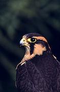 Halcon Aplomado (Falco f. femoralis)