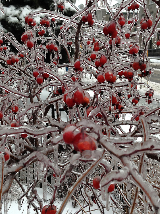 Frozen Cherries on a tree during a Montreal Ice Storm 2015. Beautiful yet dangerous conditions.
