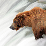 An Alaskan Brown bear waits for salmon to jump at Brooks Falls in Katmai National park near King Salmon, Alaska.