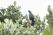 The kokako lives in tall native forest, often staying hugh up in the trees, where it eats berries, leaves, fern fronds, flowers, buds, and insects.  With good agility, this kokako balances on two branches while feeding on leaves on Tiritiri Matangi Island, New Zealand.