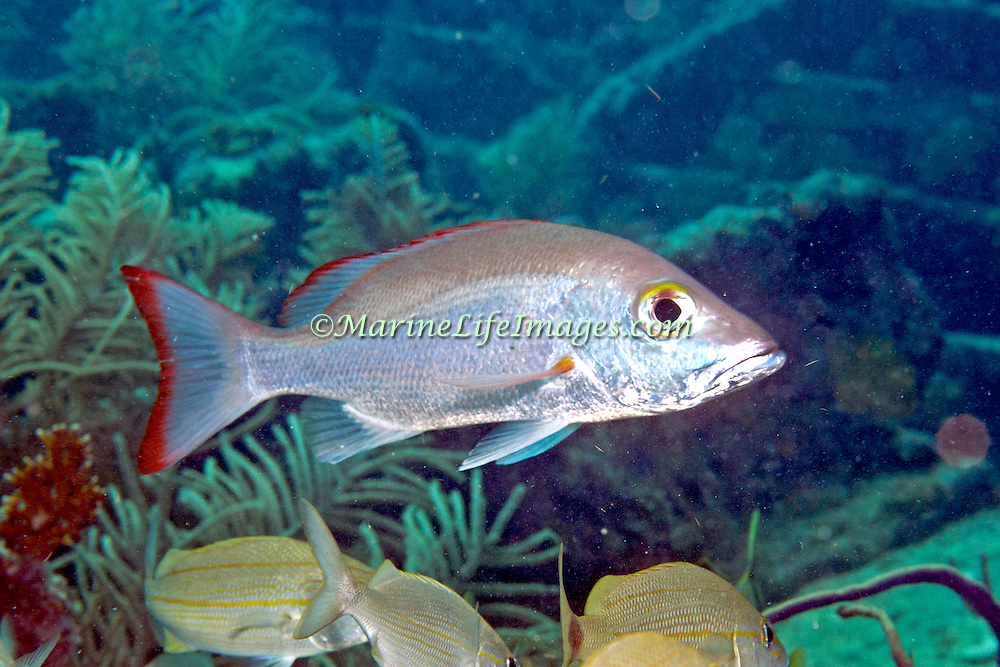 Mahogany Snapper inhabit reefs, in Tropical West Atlantic; picture taken Key Largo, FL.