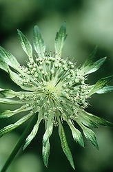 Astrantia major subsp. involucrata 'Shaggy' - Hattie's pincushion, Masterwort