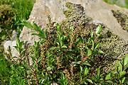 Willow (Salix sp.) High Tauern National Park (Nationalpark Hohe Tauern), Central Eastern Alps, Austria |  Weide (Salix sp.) am Moränenwall vom Schlatenkees. Nationalpark Hohe Tauern, Osttirol in Österreich