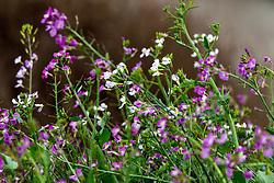 Wild radish (Raphanus raphanistrum) purple and white flowers, Palo Alto, California, United States of America