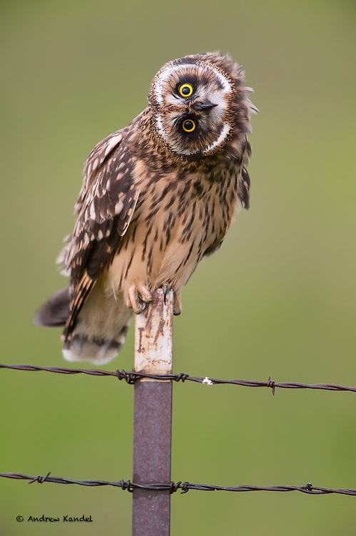 A short-eared owl (Asio flammeus) demonstrates the flexibility of an owl's neck, Mission Valley