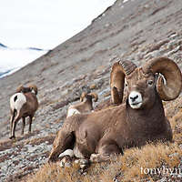 trophy bighorn ram  big mountain background wild rocky mountain big horn sheep