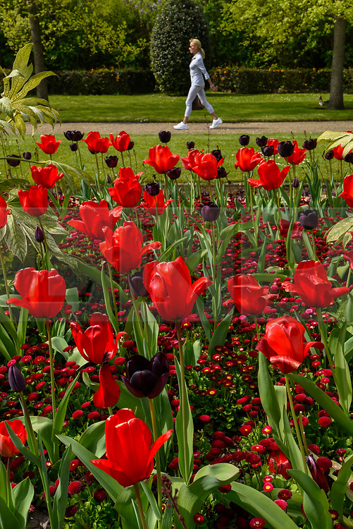 © Licensed to London News Pictures. 18/04/2019. LONDON, UK.  A woman walks by the tulip display which is in full bloom in Regent's Park.  The forecast is for increasingly warmer weather for the Easter weekend.  Photo credit: Stephen Chung/LNP