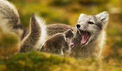 Arctic Fox (Alopex lagopus) in Spitsberg, Svalbard