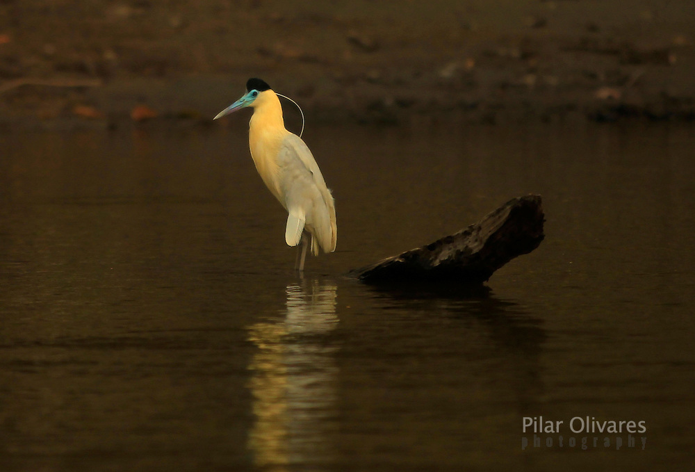 A capped heron is seen at the Maranon river in Peru's Pacaya Samiria National Reserve in the Amazon jungle, September 3, 2011....