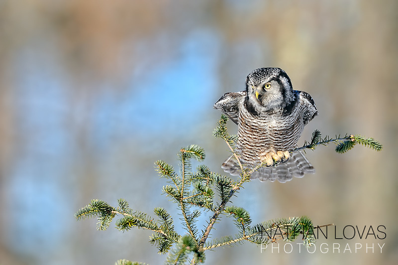 Northern Hawk Owl (Surnia ulula), on spruce tip;  Minnesota.