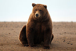 North American brown bear /  coastal grizzly bear (Ursus arctos horribilis) sitting on a sandy beach between Cook Inlet and Silver Salmon Creek, Lake Clark National Park, Alaska, United States of America