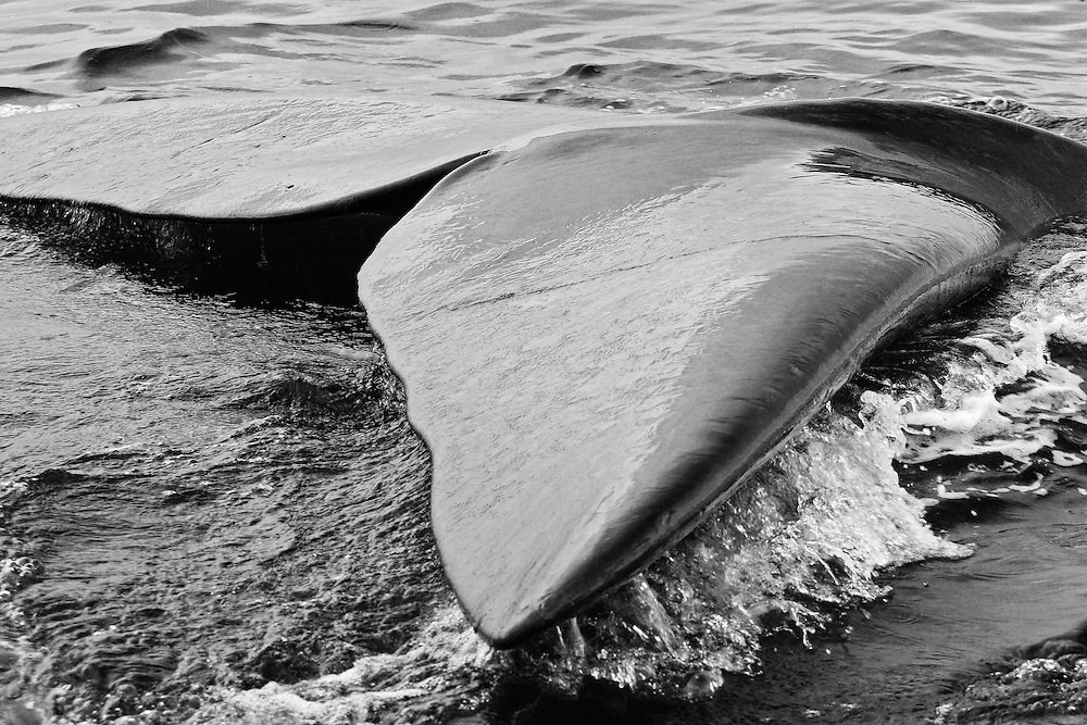 Black and White Photograph of Southern Right Whale Fluke, Valdes Penninsula, Patagonia, Argentina (2008)