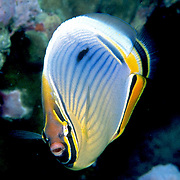 Indian Redfin Butterflyfish inhabit reefs. Picture taken Maldives.