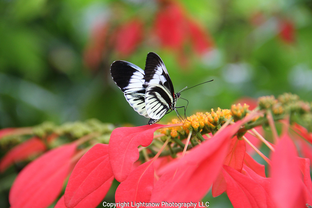 This is a photograph of a Piano Key Butterfly.
