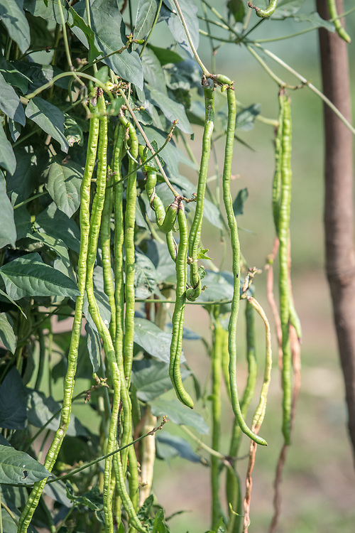String beans (Phaseolous vulgaris) grow on vines in Ganta, Liberia