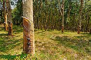 a wide angle view of a caoutchouc plantation near Nkhata Bay, Malawi