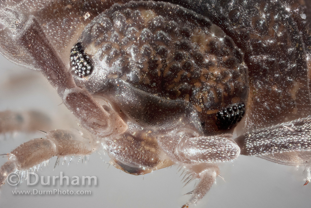 Detailed portrait of a common rough woodlouse (Porcellio scaber), a terrestrial crustacean found throughout Europe and North America. © Michael Durham / www.DurmPhoto.com