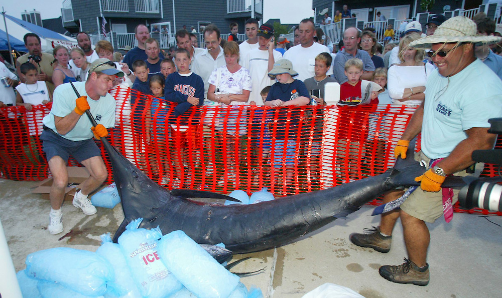 (SPORTS) Ocean City MD. 8/4/2003  Dock workers manuever a first day leading 480 pound Blue Marlin from the dock as spectators look at the fish.  Michael J. Treola Staff Photographer.........MJT
