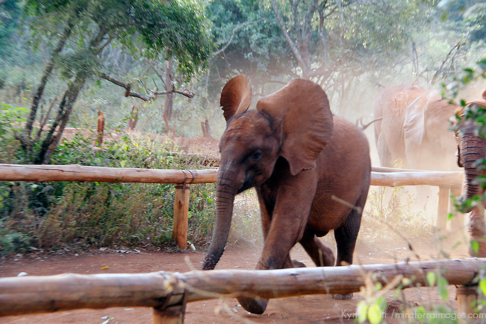 Africa, Kenya, Nairobi. Orphaned baby elephant running to eat at David Sheldrick's Wildlife Trust.