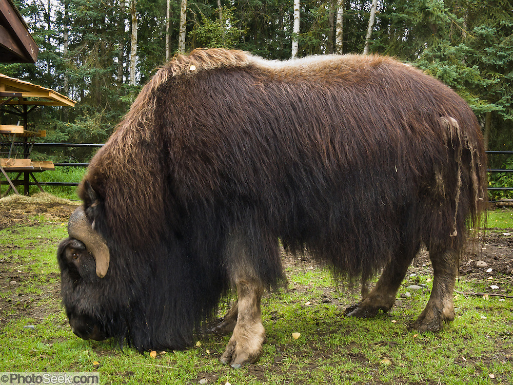 Musk ox in the Alaska Zoo, Anchorage, Alaska, USA. A musk ox (ovibos moschatus), is not an ox, and has no musk glands. Instead, it is a relative of sheep and goats. 3000 musk ox live in Alaska and 100,000 more live worldwide in the far north. Due to their habit of huddling together in a circle (with calves in the center) when threatened, they nearly went extinct after the invention of guns.