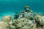 Spotted Trunkfish (Lactophrys bicaudalis)<br /> Halfmoon Caye, Lighthouse Reef Atoll<br /> Belize<br /> Central America