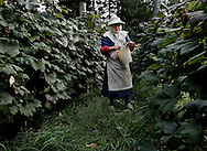 BETHLEHEM, CT- 11 OCTOBER 2005- Mother Abbess David Serna tends to grapes in the vineyard at the Abbey of Regina Laudis in Bethlehem. Mother Abbess is in charge of the abbey's 37 nun's at the cloistered Benedictine community. The abbey was the first female Benedictine abbey in the United States.  (Photo by Robert Falcetti)