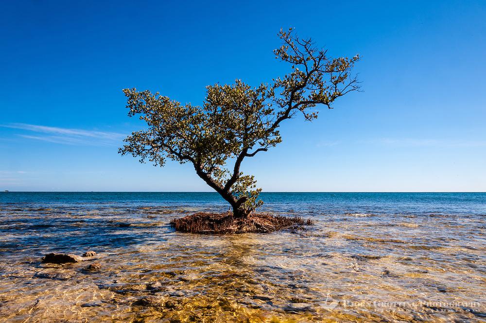 US, Florida Keys. Mangrove tree, Scout Key.