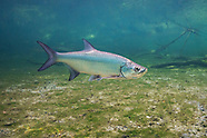 Atlantic Tarpon, Underwater